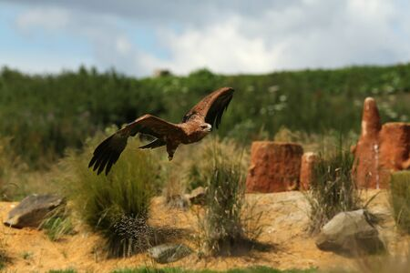 Close up of a Harris Hawk in flight Stock Photo