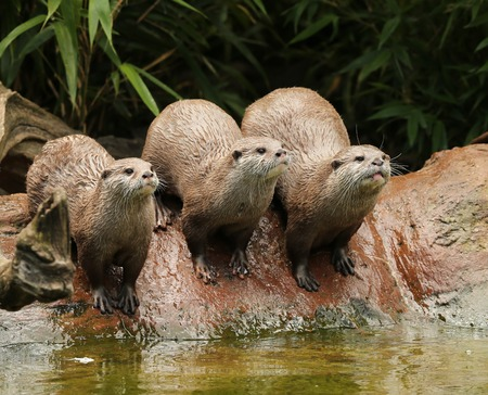 A family of Oriental Short Clawed Otters