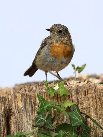 erithacus rubecula: Close up of a Young teenage robin starting to develop his red chest feathers Stock Photo