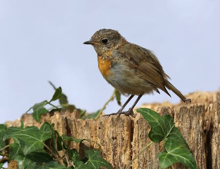 Close up of a Young teenage robin starting to develop his red chest feathers Stock Photo