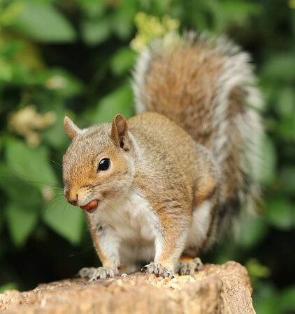 Close up of a Grey Squirrel eating nuts in the warm autumn sun