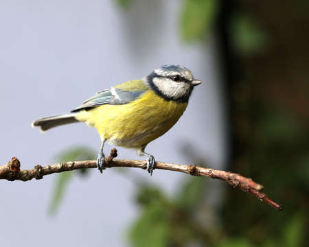 Close up of a Blue Tit perched on a branch in autumn Stock Photo
