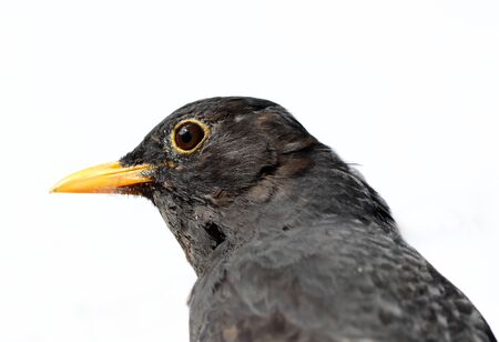 Close up of a male Blackbird Stock Photo