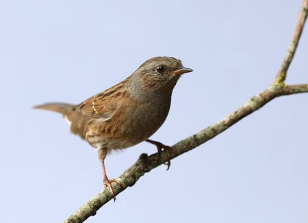 Close up of a Dunnock perched on a branch in autumn