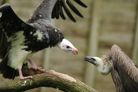 White Headed and Griffon Vulture squabbling on a branch
