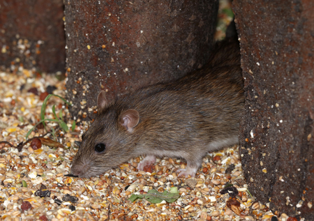 Close up of a young wild Brown Rat Stock Photo