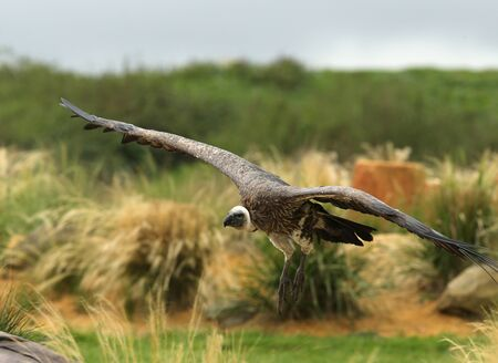 Close up of a Griffon Vulture in flight Stock Photo