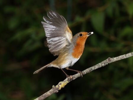 erithacus rubecula: Close up of a robin taking off Stock Photo