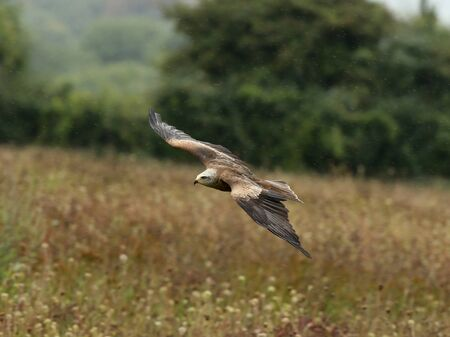 Close up of a Black Kite flying over a wild flower meadow in the rain