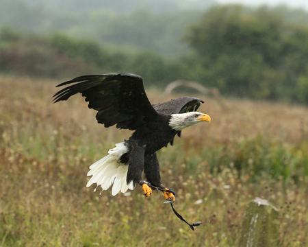 Close up of a Bald Eagle flying in the rain