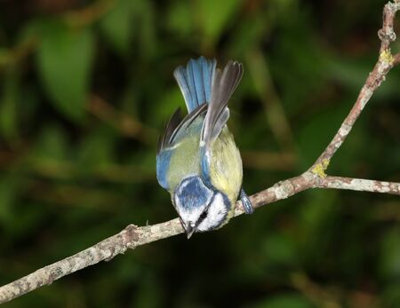 Close up of a Blue Tit diving for food