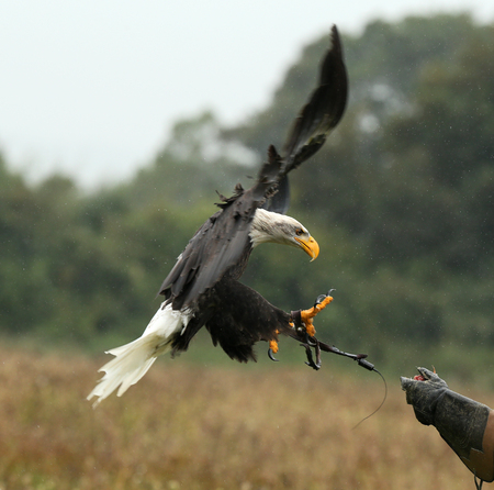 Close up of a Bald Eagle landing on a falconers glove in the rain