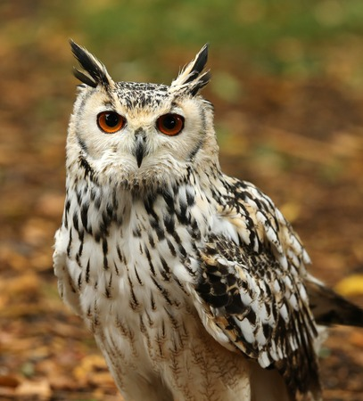 Close up of an Eagle Owl in woodland