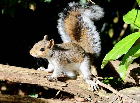 Close up of a young Grey Squirrel searching for nuts Stock Photo