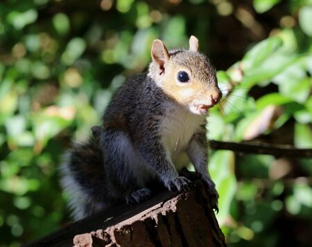 Close up of a young Grey Squirrel eating nuts