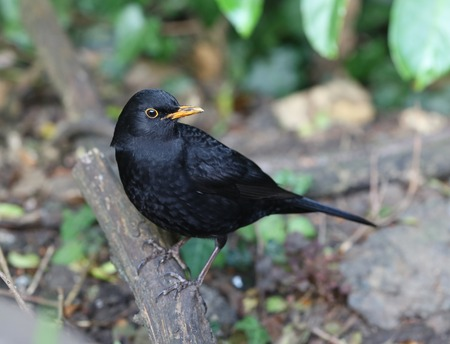 Close up of a male Blackbird looking for food