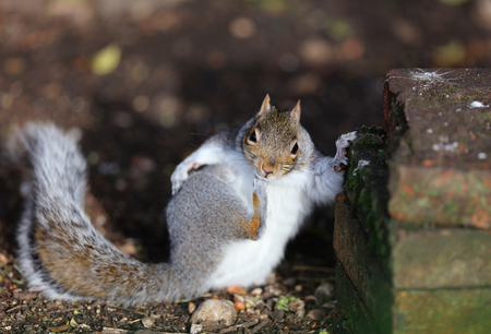Close up of a Grey Squirrel having a good old scratch Stock Photo