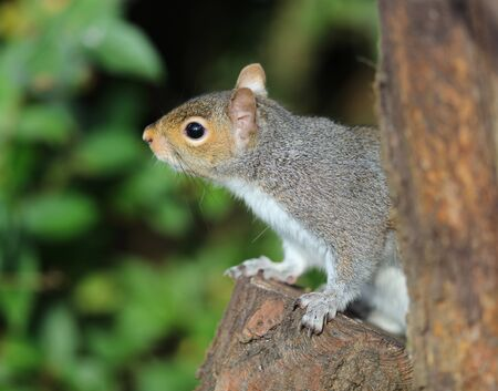 Close up of a Grey Squirrel looking for food Stock Photo