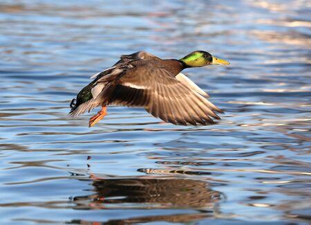 Close up of a male Mallard Duck in flight over a river
