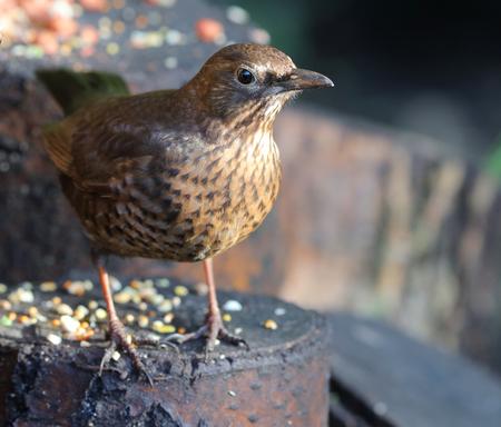 Close up of a female Blackbird