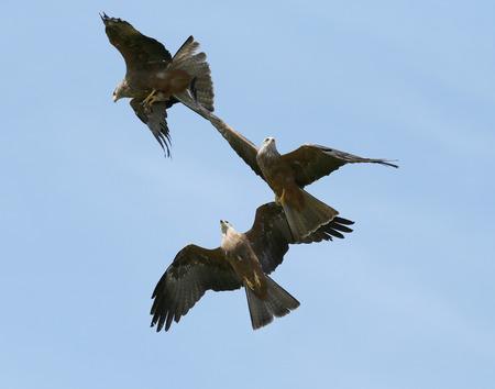 Close up of three black kites catching food in flight