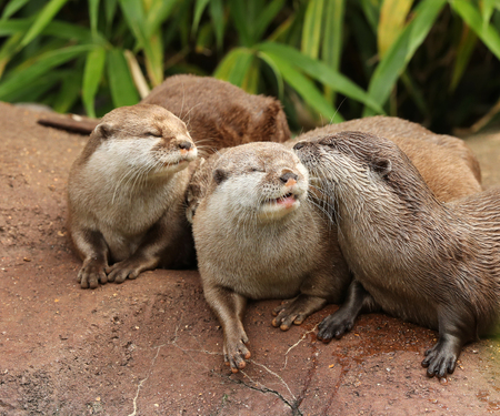 A family of Oriental Short Clawed Otters cuddling Stock Photo