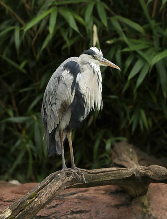 Portrait of a wild Grey Heron