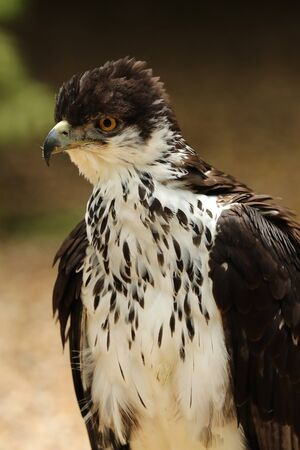 Portrait of an African Hawk Eagle