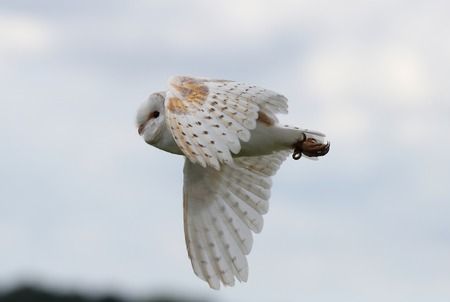 Close up of a Barn Owl in flight Stock Photo