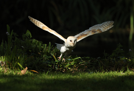 Close up of a Barn Owl in flight in the woods