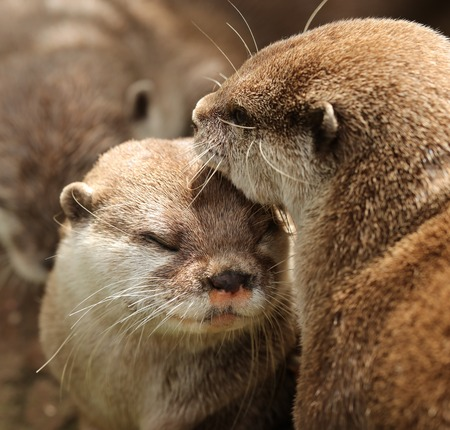 A pair of cuddling Oriental Short Clawed Otters Stock Photo