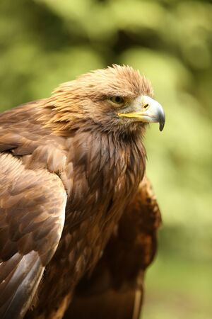 Portrait of a male Golden Eagle