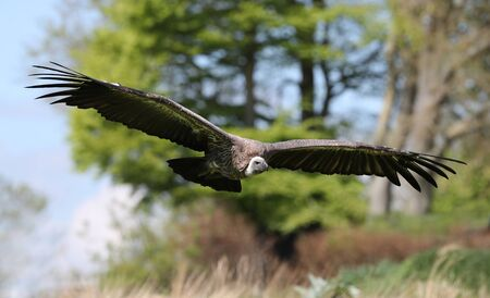 Close up of a Griffon vulture coming into land Stock Photo