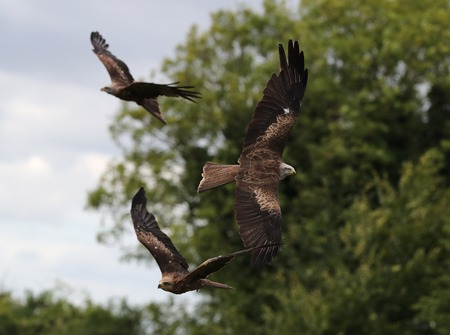 Close up of three black kites catching food in flight
