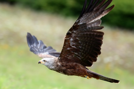 Close up of a Red Kite in flight
