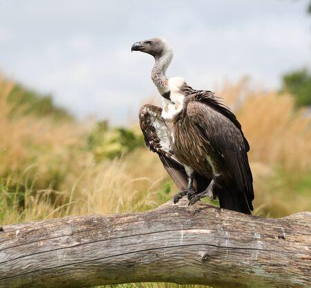 Portrait of a Griffon Vulture Stock Photo