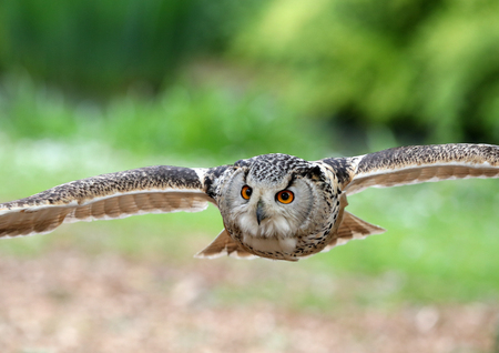 Close up of an Eagle owl in flight head on Stock Photo