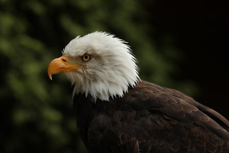 Portrait up of a Bald Eagle