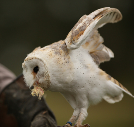 Close up of a Barn Owl having a snack Stock Photo