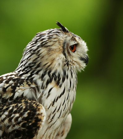 Profile of an Eurasian Eagle Owl with blurred green background