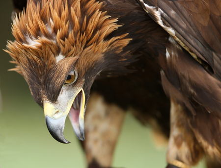 Close up of an angry looking golden eagle
