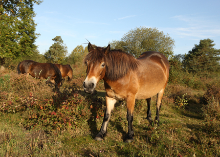 Close up of Dartmoor Ponies in late sunshine on a heath Stock Photo
