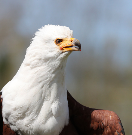 Close up of an African Sea Eagle