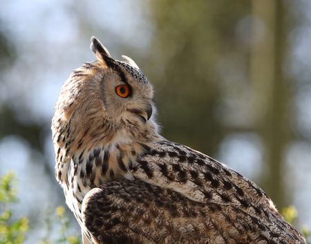 Close up of an Eagle Owl Stock Photo