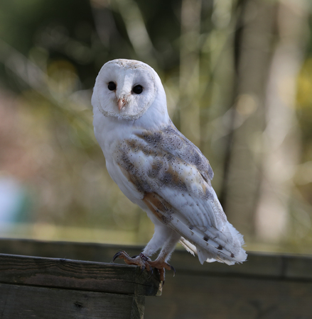 Close up of a Barn Owl