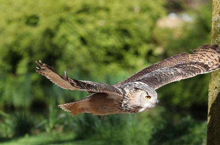 Close up of an Eagle Owl in flight through woodland Фото со стока