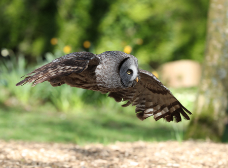 Close up of a Great Grey Owl in flight through woodland