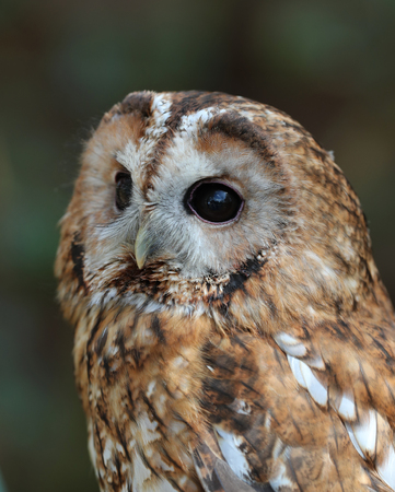 Close up of a Tawny Owl Stock Photo