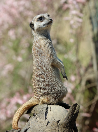 Close up of a Meerkat on sentry duty