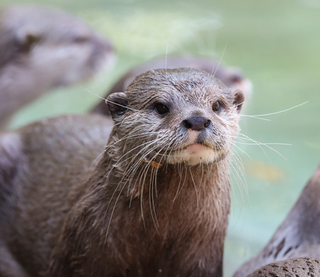 Close up of a wet Oriental Short Clawed Otter Фото со стока